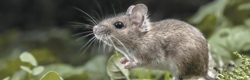 тотем мышь