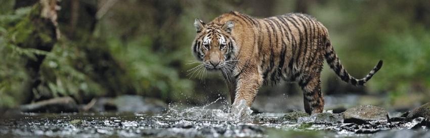 тотем тигр