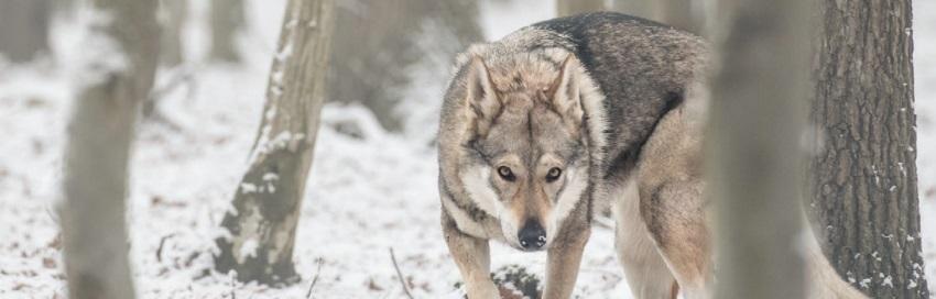 тотем волк